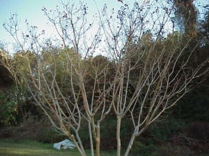 The branching structure of crape myrtles makes an impact to landscapes even in winter time.  Photo credit: Beth Bolles