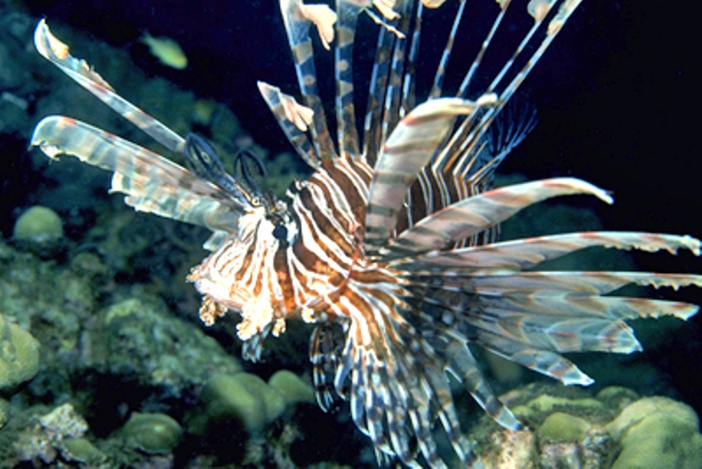 2013 Lionfish Summit; update on FWC meeting in Cocoa Beach