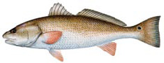 Red Drum - photo credit Florida Fish and Wildlife