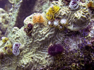 Christmas Tree Worms - Photo credit: Flickr user Todd Barrow