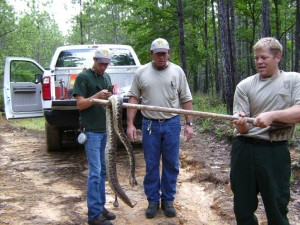 A large snake like this almost invites the adventurous to chase and pick it up. This is not recommended since 95% of snake bites occur while trying to pick-up or kill a snake. Better to leave in place and give space. Photo courtesy of Alan Dennis.