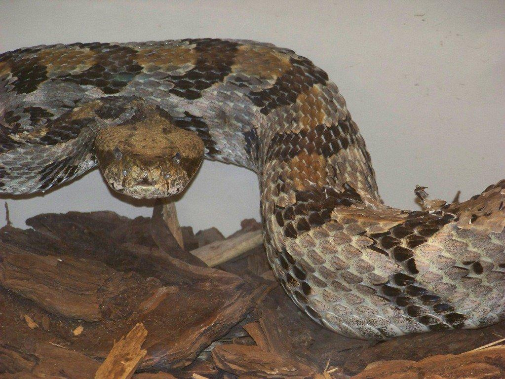 The Timber Rattler, also known as the Canebrake Rattlesnake can grow to over 6 feet. Commonly found in damp woodland environments. Photo Courtesy of Molly O'Connor