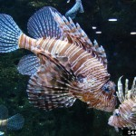Invasive Species of the Day (February 24): Lionfish and Air Potato