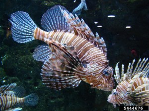 Lionfish, Photo Credit: Rebekah D. Wallace, UGA, Bugwood.org