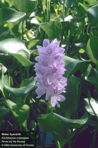 Water Hyacinth Photo Credit: Vic Ramey, UF/IFAS