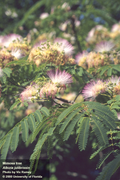 mimosa tree pic