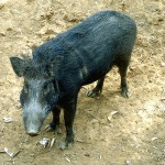 Choosing the Right Tools is Key to Successful Feral Hog Management