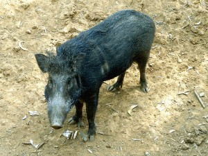 Wild boar Photo Credit: Florida Fish & Wildlife Conservation Commission