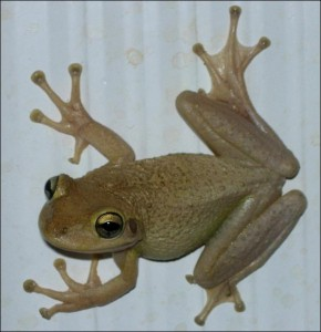 Is this a Cuban Tree Frog? Do I have to rely on DNA barconding to know for sure before I decide to euthanize it? Could I be making a mistake? Image by Dr. Steve A Johnson 2005.