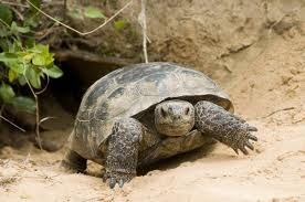 Our Magnificent Miner; the gopher tortoise