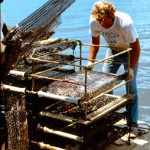 Can Culturing Oysters Be Part of the Fishery Recovery?
