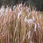 Invasive Species of the Day (March 2nd): Cogongrass & Napier Grass