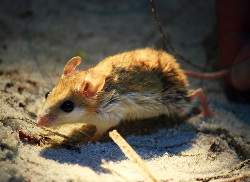 The Choctawhatchee Beach Mouse is one of four Florida Panhandle Species classified as endangered or threatened. Beach mice provide important ecological roles promoting the health of our coastal dunes and beaches. Photo provided by Jeff Tabbert