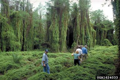Old World Climbing Fern Lygodium microphyllum photo by Ken A. Langeland, University of Florida, Bugwood.org