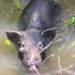 Invasive Species of the Day (February 25): Coral Ardisia and Wild Hogs