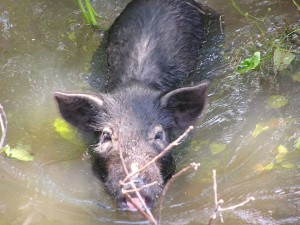 The impact of wild hogs on the environment is soil erosion, decreased water quality, spread of other invasive plants, damage to agricultural crops, and damage to native plants and animals. Photo by Jennifer Bearden