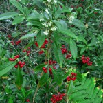 NISAW 2016 – Coral Ardisia, A Pretty Problem