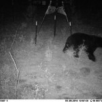 Our Recovering Florida Black Bear Population