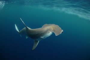 The Scalloped Hammerhead is one of five species of hammerheads in the Gulf.  It is commonly found in the bays.  Photo: Florida Sea Grant