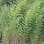 Bamboo: Attractive Ornamental or Invasive Nightmare?