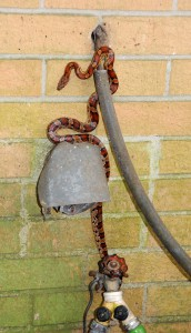 Corn snakes are excellent climbers and consume a lot of rodents.   Photo: Nick Baldwin