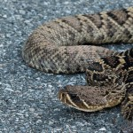 It's a Strange Thing, These Rattlesnakes