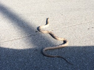 Gray rat snake crossing a driveway.  Photo: Carrie Stevenson