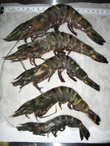 Five tiger shrimp captured by shrimpers in Pensacola Bay.