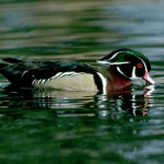 Wood ducks could use your help this time of year