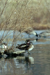 A pair of wood ducks with the more drably colored female in the foreground.  Photo: USFWS National Digital Library