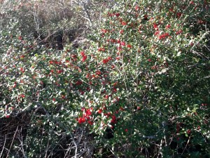 Holly's are famous for having the bright red berries around Christmas time.  Here in January the berries are still found on some of them.