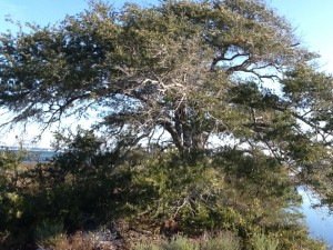 With the dunes blocking offshore winds trees can grow much larger on the back side of the island; like this live oak.