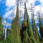 NISAW 2016 – Climbing Ferns