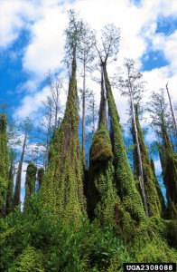 Old World Climbing Fern has moved northward from South Florida into Central Florida. Photo by Peggy Greb, USDA Agricultural Research Service, Bugwood.org