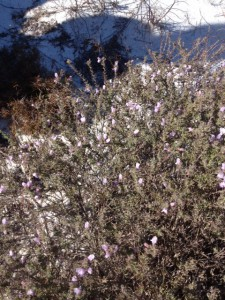 Beach heather (Conradina canescens) blooming early in the year on a cold morning.