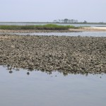 Working to Restore Oyster Habitat