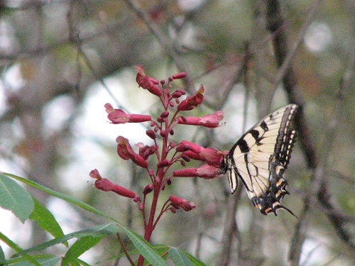 Swallowtail Butterfly Feeding on a native Buckeye. Buckeyes also attract hummingbirds. Photo Credit: Jed Dillard