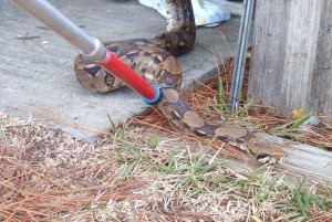 This python was caught in a garage on Bayou Chico (Pensacola) - it did not belong to the homeowner. Photo: Escambia County Animal Control