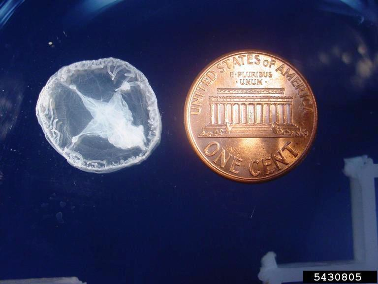 Non-Native Freshwater Jellyfish in Florida?