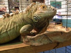 An unwanted green iguana now resides at the Roy Hyatt Environmental Center where others can learn about the issues of exotic pets.  Photo: Molly O'Connor