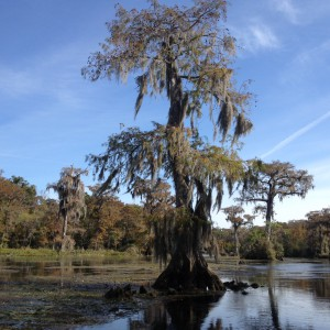 Large bald cypress trees serve as wildlife habitat at Wakulla Springs State Park. Photo credit: Carrie Stevenson