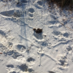 Evidence of dogs on the beach.