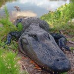 Alligators Become More Active in the Spring