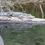 Look Who Is Enjoying the Beach This Spring… An Alligator!