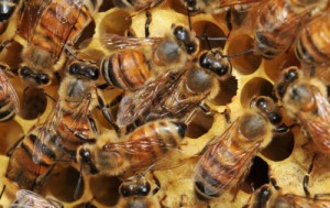 European Honey Bees  Photo: Ashley N. Mortensen; University of Florida