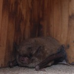 What can you do about a colony of bats in a building?