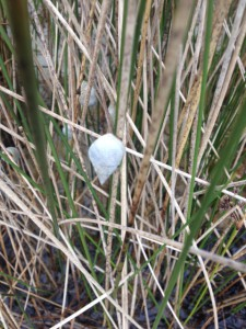 The marsh periwinkle is one of the more common mollusk found in our salt marsh.  Photo: Rick O'Connor