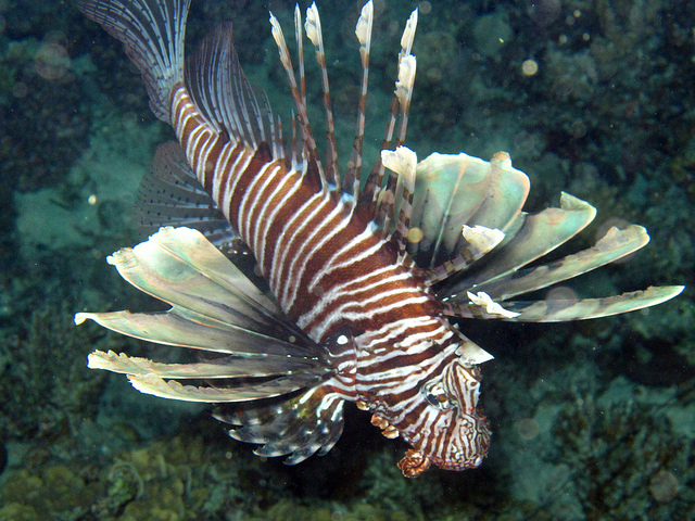 So, What's Up with the Lionfish?  Comments from the Recent Regional Workshop