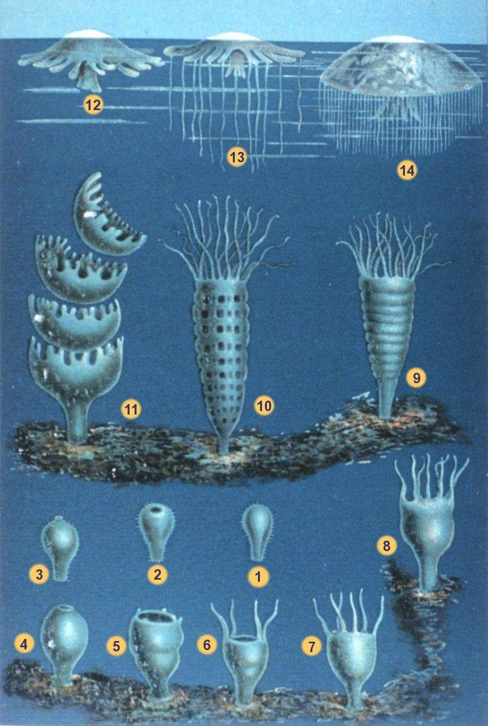 Cnidarians: Stinging Nettles of the Animal Kind