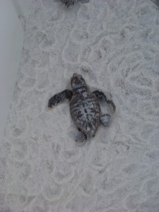Young loggerhead sea turtle heading for the Gulf of Mexico.  Photo: Molly O'Connor